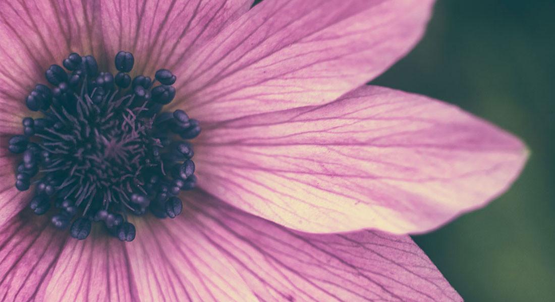 Helios 44M-4+macro tube  фиолетовый цветок, макрофото